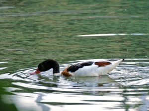 Brandgans - Common Shelduck